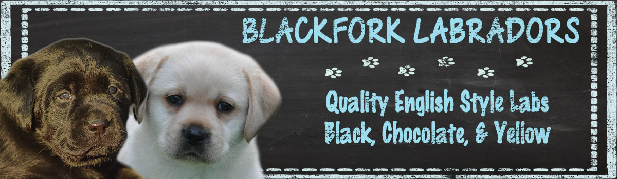 Yellow Labrador Retrievers, Yellow Lab, New Hampshire, Massachusetts, Connecticut, Maine, New York, New Jersey, Pennsylvania, New England, East Coast, Rhode Island, Vermont Lab Black Puppies Litters Puppy